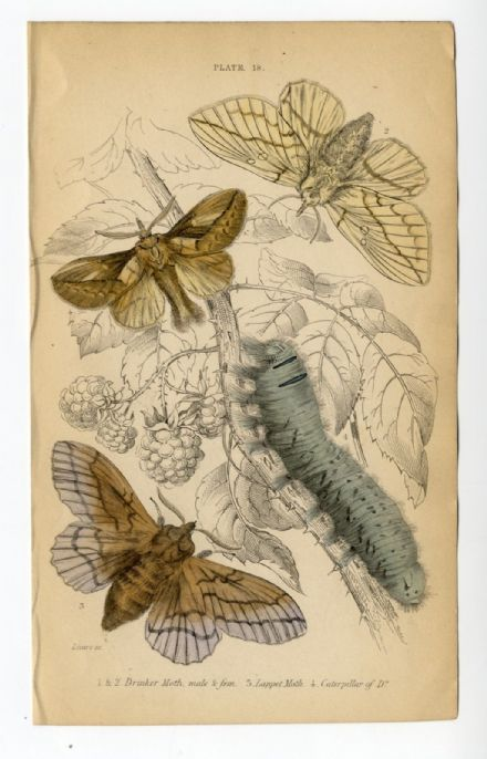 1836 MOTHS JARDINES Antique Print DRINKER Lappet CATERPILLAR Hand Colour ENGRAVED by William Lizars